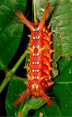 "Stinging Nettle Slug Caterpillar, Cup Moth, Limacodidae, ""Red Devil"", setora sp"