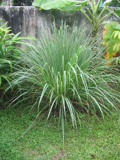 Citronnelle (cymbopogon citratus), la plante anti-moustique