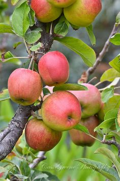 For my Board : The Apple Orchard Cottage Fruit And Veg, Fruits And Veggies, Fresh Fruit, Vegetables, Apple Farm, Apple Orchard, Apple Tree, Red Apple, Apple Fruit
