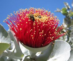 "Eucalyptus macrocarpa  ""Rose of the West"""