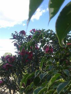 planta espirradeira e pé de fixo Foto: Camila Jesus