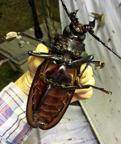 Omg! Yuck, yuck, yuck! Largest beetle in the World! O.O