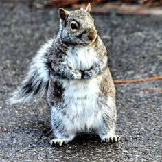 We have finally reached that most magical season when once-sleek squirrels turn into little chubby bundles of heart-bursting joy. Squirrel Season, Fat Squirrel, Cute Baby Animals, Funny Animals, Cute Animal Videos, Baby Puppies, Breakfast For Kids, Age, Pictures To Paint
