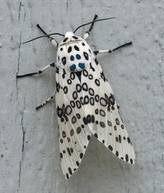 Giant leopard moth or eyed tiger moth << like all small creatures, I marvel at their stunning design - I'd probably wear this if it let me