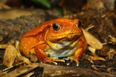 Orange toad at Chester Zoo