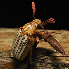 Ten-Lined June Beetle (Polyphylla decimlineata, Melolonthinae)