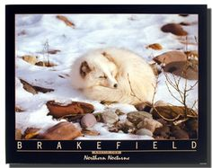 This is a cutest piece of wall décor. This poster depicts the image of a cute Nocturne Arctic fox sitting in a snow field looking very adorable is sure to grab lot of attention. This adorable poster would be a perfect addition for your home. Hurry up! Buy this wonderful piece of art for its durable quality with high degree of color accuracy which ensures protect your image for years to come.