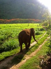 Elephant Nature Foundation, working to save Asian elephants in Thailand