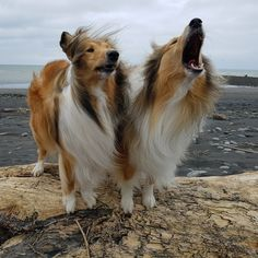 The Shetland Sheepdog originated in the and its ancestors were from Scotland, which worked as herding dogs. These early dogs were fairly Rough Collie, Collie Dog, I Love Dogs, Cute Dogs, Sheepdog Tattoo, Shetland Sheepdog Puppies, Herding Dogs, Best Dog Breeds, Sheltie