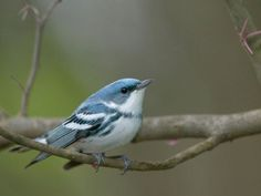 Cerulean Warbler, photo by Wil Hershberger