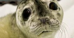 [A stranded seal pup, probably born premature and abandoned by it's mother, rescued by the Haines (AK) Animal Rescue Center] Baby Zoo, Seal Pup, Baby Seal, Beautiful Dogs, Animals Beautiful, Animal Rescue Center, Pet News, Cute Creatures, Sea Creatures