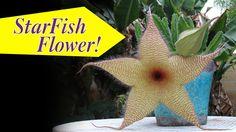 Startfish Flower On Succulent (Stapelia gigantea)