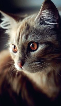 Latest Images fluffy Cat Breeds Concepts : Some people imagine that pet cats are simply kittens and cats, understanding that just about all the same. Pretty Cats, Beautiful Cats, Animals Beautiful, Cute Animals, Beautiful Pictures, Pretty Kitty, Wild Animals, Beautiful Cat Breeds, Gorgeous Eyes