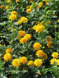 Heliopsis helianthoides 'Asahi' = zonneoog, bloeit van juni tot in oktober, kan ruim 1 m. worden, heeft een zonnige of halfbeschaduwde standplaats nodig. Voedzame grond niet te vochtige grond.