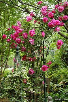 Photos of antique roses, tips for growing them, and nurseries for purchasing