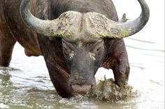 Buffalo at Kapama Luxury Tents, Game Reserve, South Africa, Buffalo, Wildlife, Elephant, Animals, Animales, Animaux
