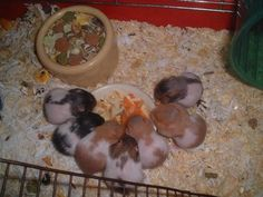 Prepare for pregnant hamster Bear Hamster, Hamster Care, Hamster Toys, Animals Beautiful, Cute Animals, Cute Hamsters, Dwarf Hamsters, Baby Teddy Bear, Syrian Hamster