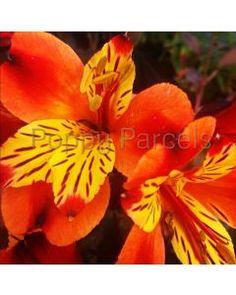 Poppy Parcels Buy Premium Irish Perennial Plants Online, Delivered Nationwide. Poppy Parcels Online Garden Centre Garden Centre, Agapanthus, Plants Online, Pretty Wallpapers, Garden Plants, Perennials, Poppy, Irish, Flowers