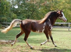 Sabino patterne Arabian, not SB1. Hope and Horses: Horse Color Genetics: A Little More on Sabino