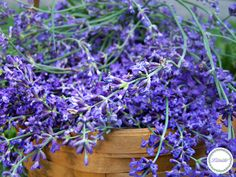 Lavender is notoriously difficult to germinate and grow. But with a few simple steps you can grow your own starts from seed. data-pin-do= Growing Lavender From Seed, Lavender Seeds, Lavender Bouquet, Container Herb Garden, Container Gardening Vegetables, Homestead Gardens, Farm Gardens, Gemüseanbau In Kübeln, Herb Farm