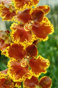Orchid: Gomesa forbesii - Flickr - Photo Sharing!