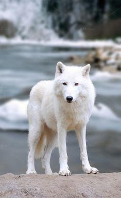 Wolf by byrdyak on @creativemarket