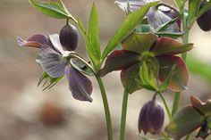 Helleborus purpurascens - Nieswurz – Wikipedia