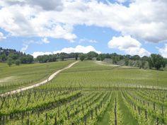 Blick auf den Weinberg von Caprai