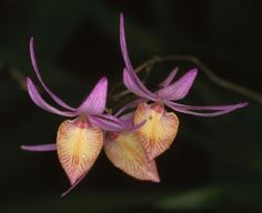 ORQUIDEAS MEXICANAS: Barkeria naevosa - E
