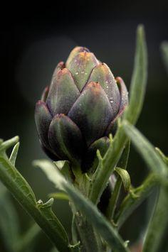 Artichoke...needs to start growing in my garden!