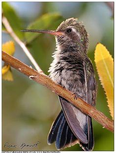 a female lucifer hummingbird sitting still--hummingbirds remind me of my great grandmas Lola and Arlet ❤