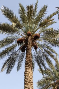 Phoenix dactylifera - date palm tree - 10 fresh seeds - hardy tropical &apo It Movie Cast, It Cast, London Friend, Red Palm Oil, Fresh Dates, Dating In London, The English Patient, Date Outfit Summer, Lifetime Movies