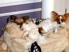 Snuggling papillons