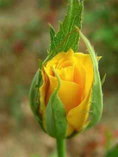 Rosen in Gelb / Roses in Yellow Yellow Flowers, Pretty Flowers, Roses Only, Rare Flowers, Love Rose, Flower Pictures, Beautiful Roses, Rose Buds, Planting Flowers