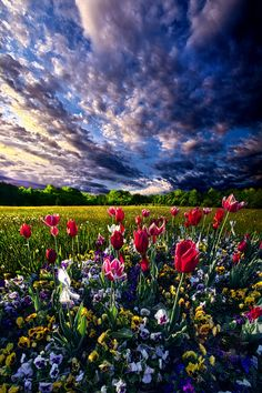 Spring Day - Tulips at sunrise - Wisconsin.