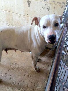 #Founddog 6-10-14 STRAY #Palatka #FL Female #Pitbull ID# 140290 Kirkland St PCSO ANIMAL SERVICES https://m.facebook.com/story.php?story_fbid=723472761048946&substory_index=0&id=519613888101502