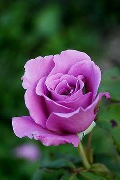 Eminence rózsa - Google keresés