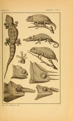 from: Die Kriechthiere Deutsch-Ost-Afrikas, Berlin, Geographische Verlagsbuchhandlung Dietrich Reimer, 1897. Via Biodiversity Heritage Library.