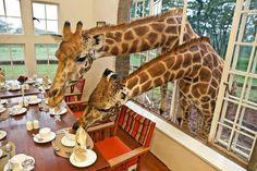 Girafas tomando café da manhã.