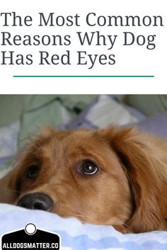 The Most Common Reasons Why Dog Has Red Eyes - Just for Die Hard Dog Lovers