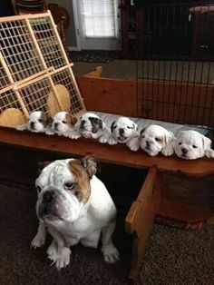 The major breeds of bulldogs are English bulldog, American bulldog, and French bulldog. The bulldog has a broad shoulder which matches with the head. Animals And Pets, Baby Animals, Funny Animals, Cute Animals, Cute Puppies, Cute Dogs, Dogs And Puppies, Doggies, Toy Dogs
