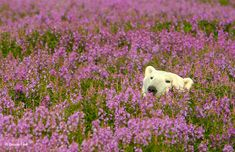 Adorable Polar Bear Plays in Flower Fields Canadian photographer Dennis Fast took advantage of his stay at the Canadian lodge Churchill Wild in Manitoba to capture this rare sight. Popularly known for. Champs, Arctic Fox, Rare Photos, Landscape Photos, Wildlife Photography, Street Photography, Belle Photo, Fields, Polaroid