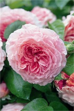 Sir James even has a rose named for him, the Rose James Galway. Well-deserved!