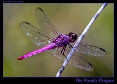 The Purple Dragon by ~MORMULLINS  Photography / Animals, Plants & Nature / Invertebrates