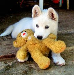 White German Shepherd!!
