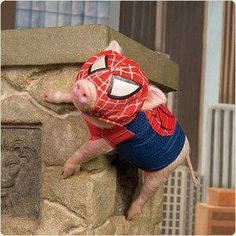 Spider pig, can he fly? no he can't cause he's a pig Cute Baby Pigs, Cute Piglets, Baby Animals Super Cute, Cute Little Animals, Little Pigs, Cute Funny Animals, Baby Piglets, Baby Animals Pictures, Cute Animal Photos