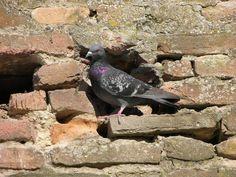 Columba livia - Rock Dove -- Seen since childhood, first recorded sighting: 3/2/2010 Bay Ridge, Brooklyn, NY