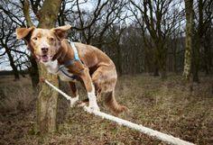Ozzy, le chien funambule le plus rapide au monde, il est capable de marcher sur une corde ou bien même de se redresser dessus. Il a parcouru vaillamment ce fil de 3.5 m en 18,22 secondes.