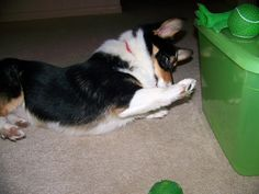 Boop! Corgis, Welsh, St Patrick, Make Me Smile, Best Dogs, Addiction, Cute Animals, Therapy, Super Cute