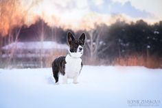 Russian lady - welsh corgi cardigan Elfborg Evangeline Lilly